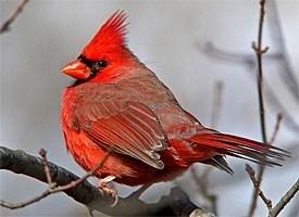 Brother Cardinal